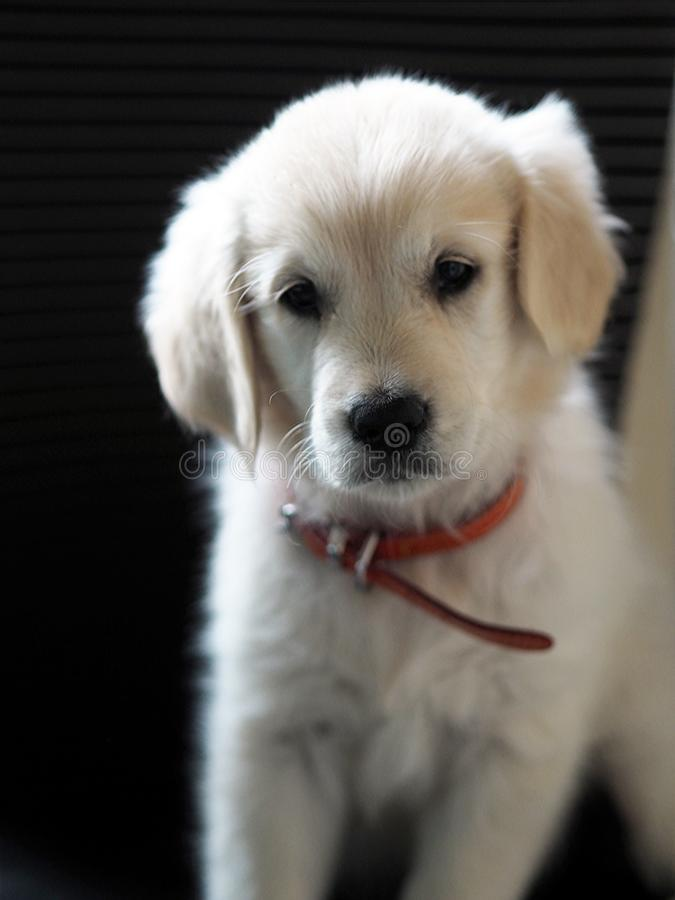 Cute little Golden Retriever two months old with her red collar. The Golden Retriever has a quite exceptional character: it is perfect with children, gentle and stock images