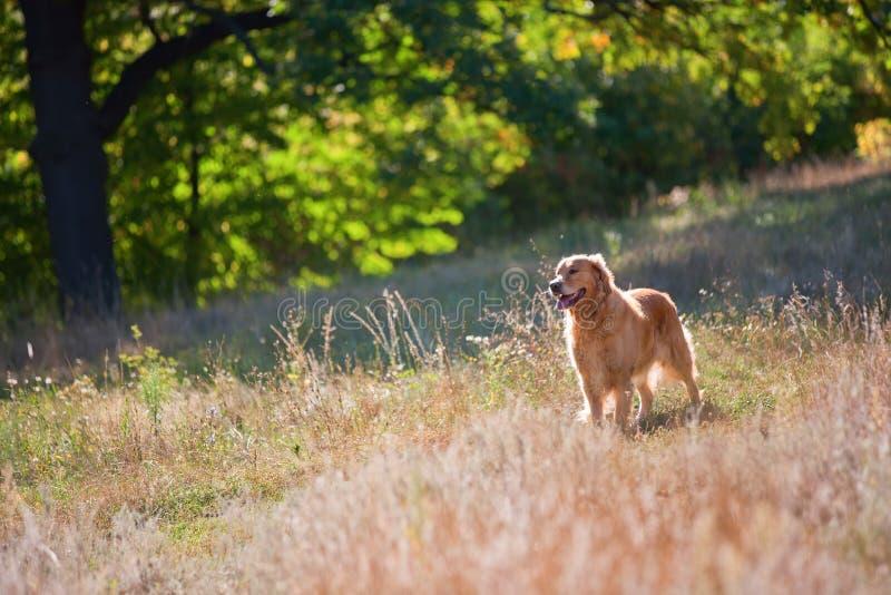 Golden retriever-Hund auf einem Sommerrasen im Wald stockfotografie
