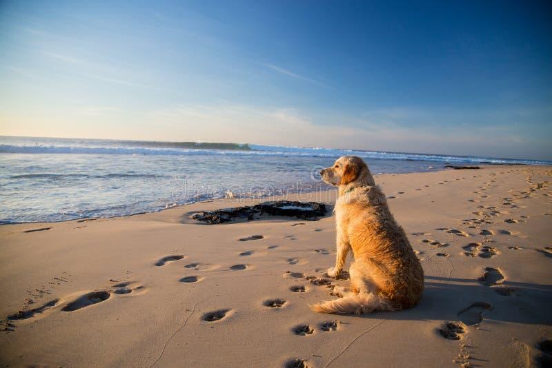 Golden retriever-Hund, der auf den Strand wartet lizenzfreies stockfoto