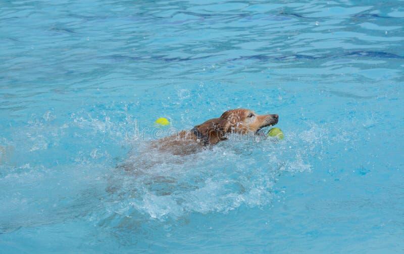 Golden retriever-Hund, der Ball jagt stockfotos