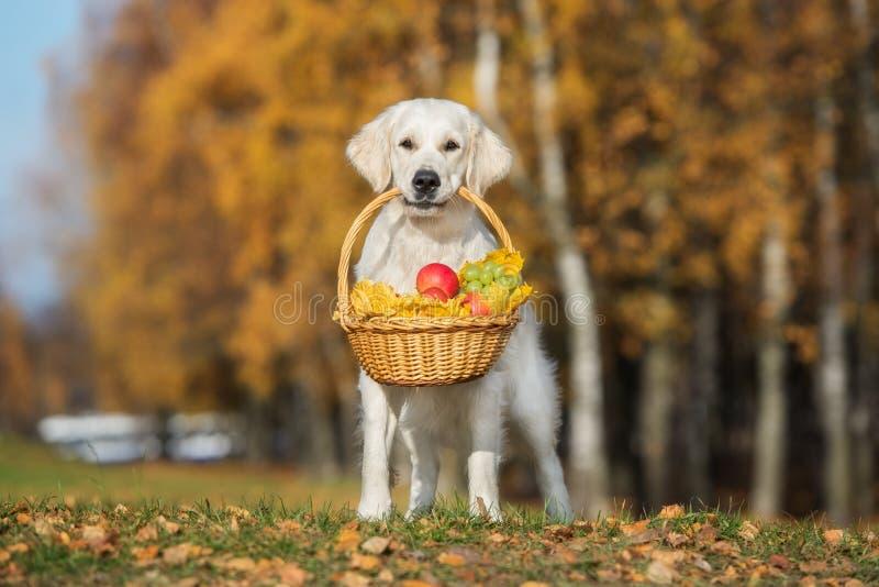 golden retriever-Hund, der draußen einen Korb im Herbst hält stockbilder