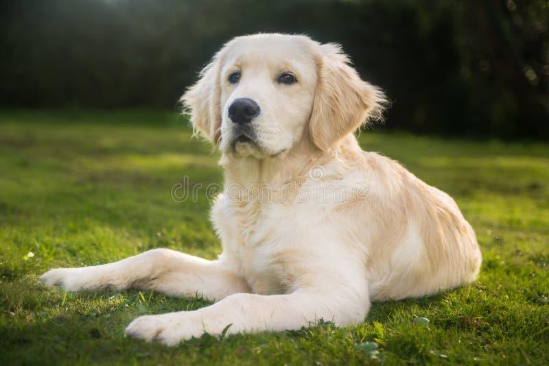 Golden retriever-Hund draußen stockfotografie