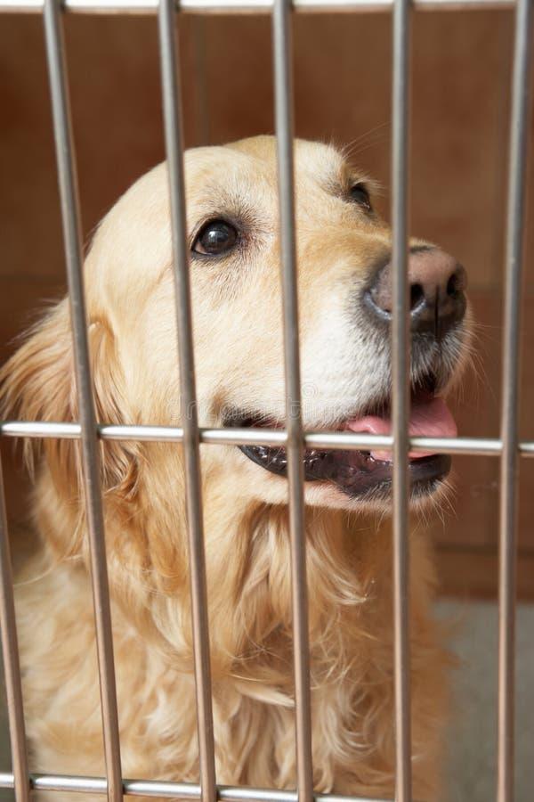 Golden retriever-Hund im Käfig an der Veterinärchirurgie lizenzfreie stockfotos