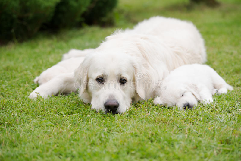 Golden retriever-Hund mit Welpen stockfotografie
