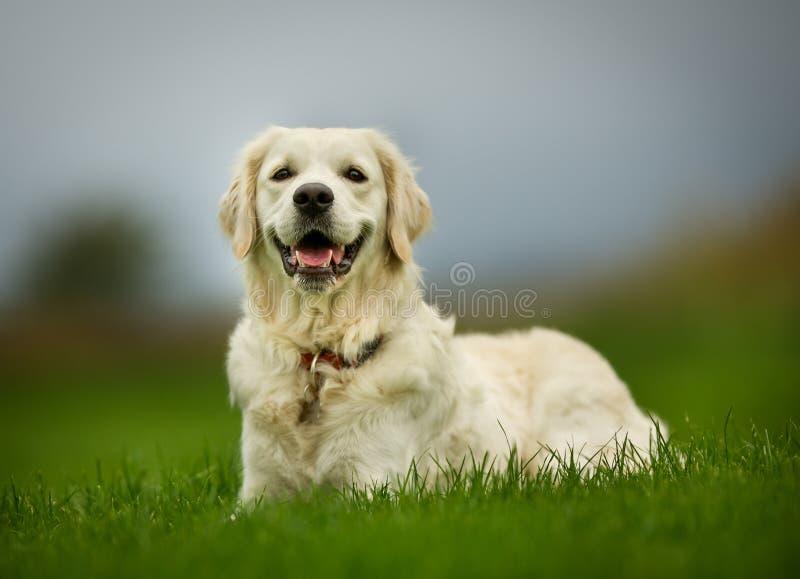 Golden retriever-Hund am sonnigen Tag stockbild