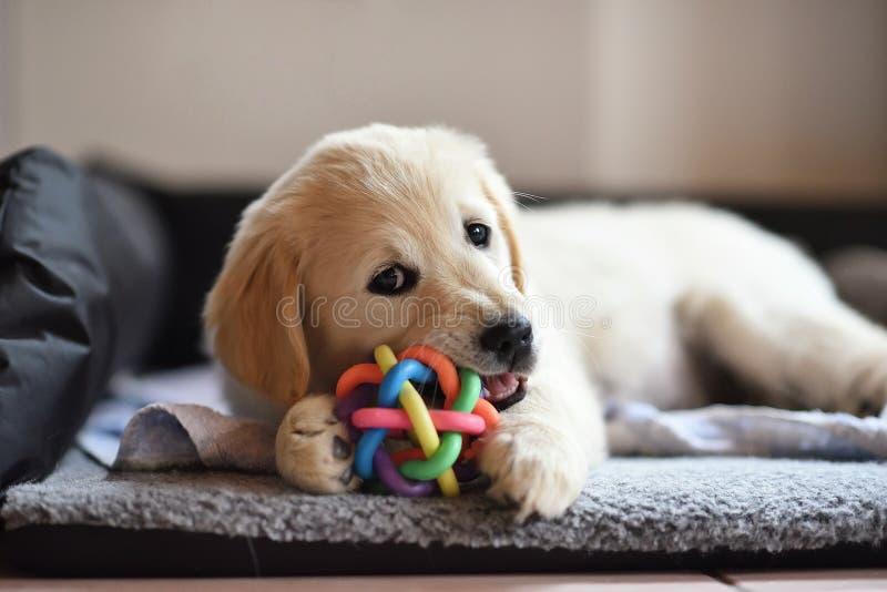 Golden retriever-Hundewelpe, der mit Spielzeug spielt lizenzfreie stockfotos