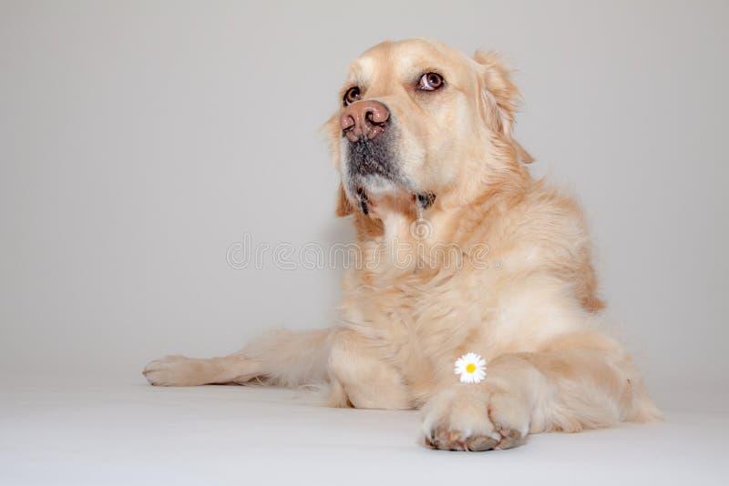Golden retriever im Fotostudio lizenzfreie stockfotografie