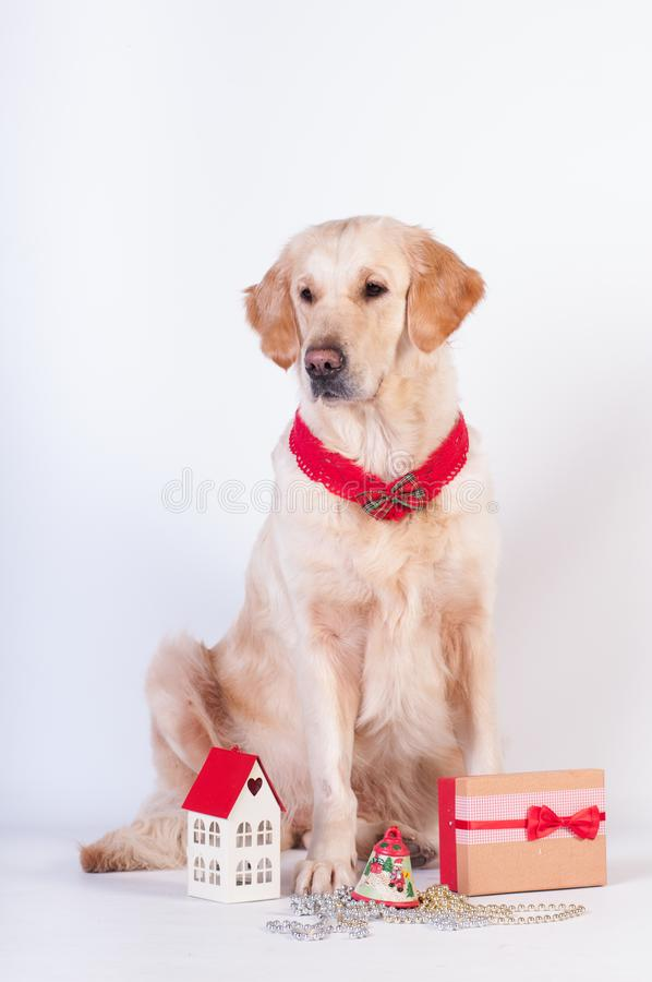 Free Golden Retriever In Christmas Style Stock Photo - 103094350