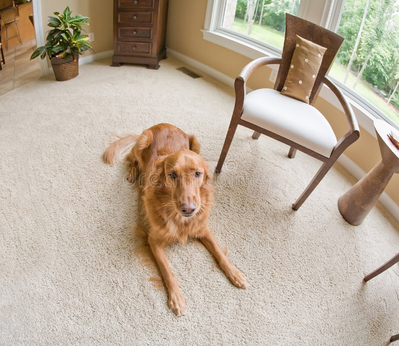 Download Golden Retriever Inside stock image. Image of extravagant - 8827853