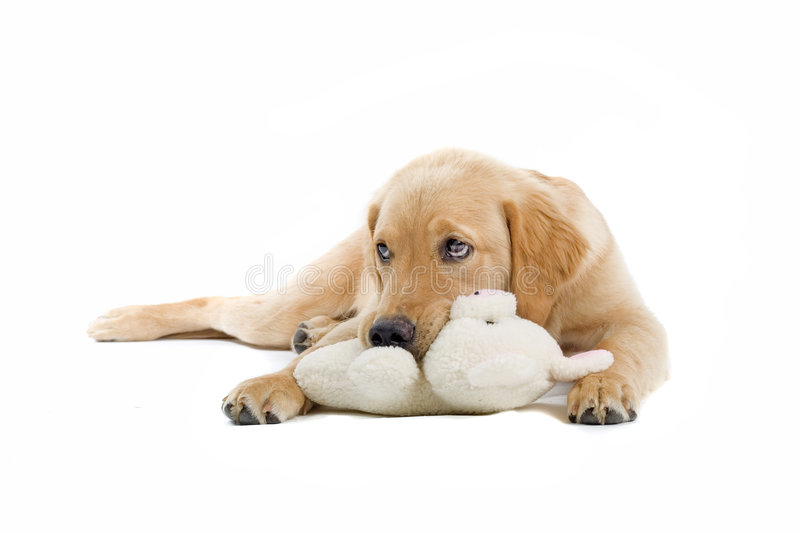 Golden retriever and its toy stock photography