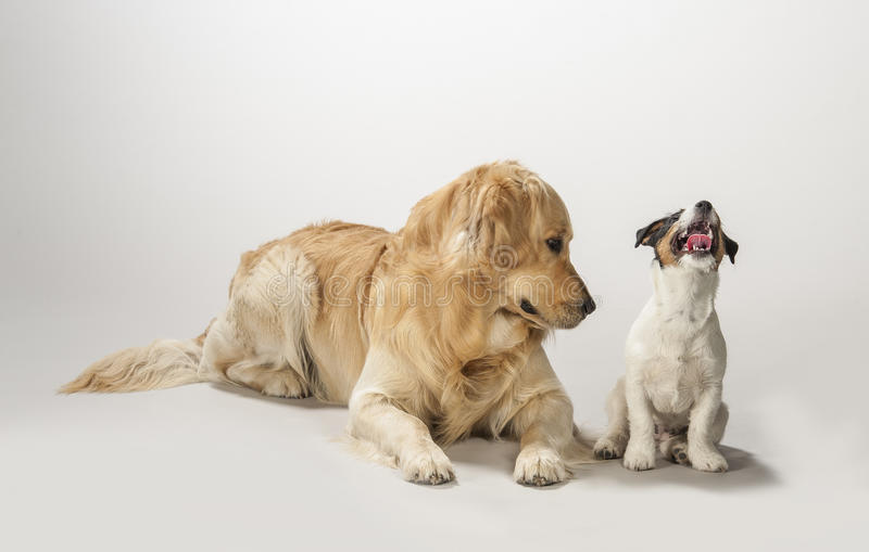 Golden retriever and jack russell terrier puppy stock images