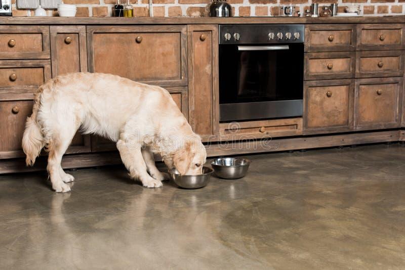 Golden retriever jest prześladowanym łasowanie od kruszcowych pucharów w kuchni zdjęcia royalty free