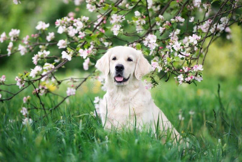 Golden retriever jest prześladowanym pozować kwitnącym drzewem obrazy royalty free