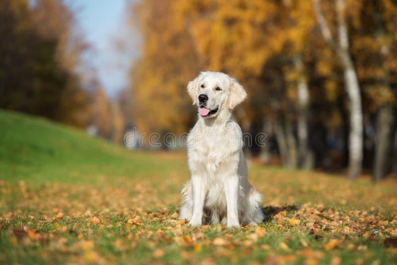 Golden retriever jest prześladowanym pozować outdoors w jesieni obrazy royalty free