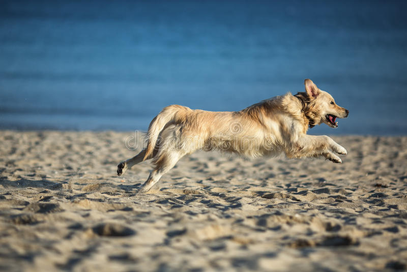 Golden retriever joven emocionado que corre y que salta en la playa imagen de archivo