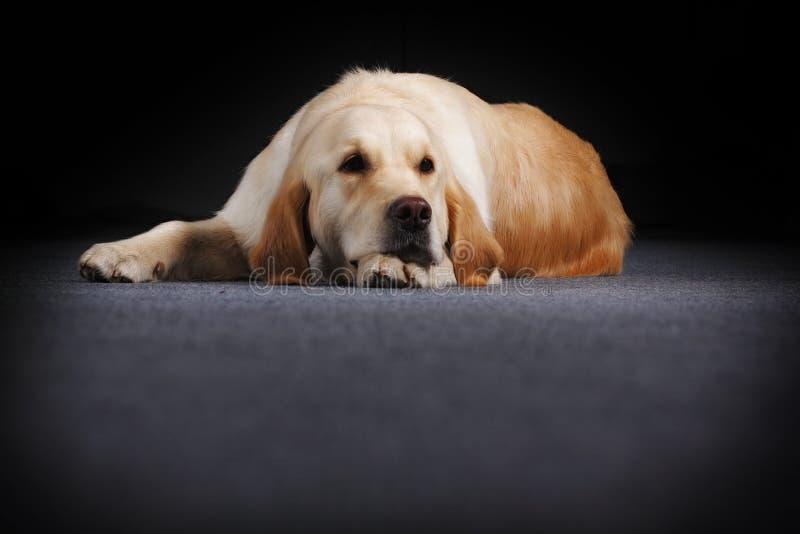 Golden Retriever kłama z mój głową zdjęcie royalty free