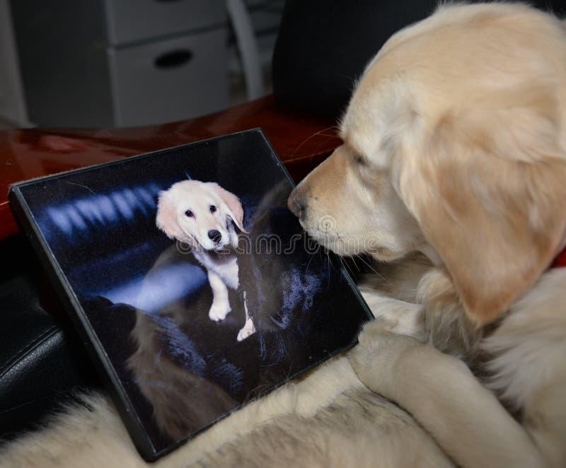 Golden Retriever kijkt naar haar eigen portret royalty-vrije stock foto