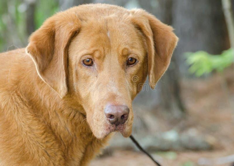 Golden Retriever Labrador Mixed Breed Dog. Golden Retriever mixed breed dog, Walton County Animal Control, humane society adoption photo, outdoor pet photography stock photography