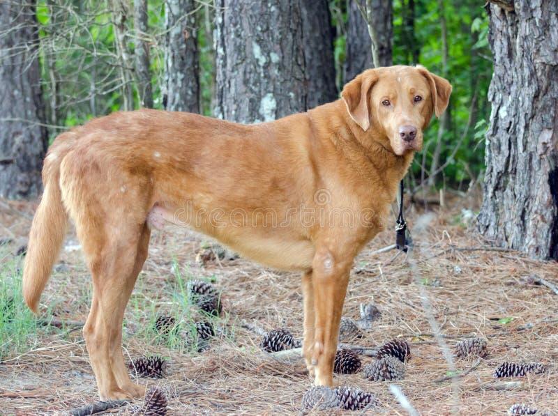 Golden Retriever Labrador Mixed Breed Dog. Golden Retriever mixed breed dog, Walton County Animal Control, humane society adoption photo, outdoor pet photography royalty free stock images