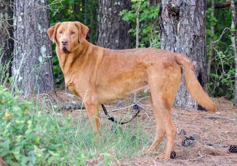 Golden Retriever Labrador Mixed Breed Dog. Golden Retriever mixed breed dog, Walton County Animal Control, humane society adoption photo, outdoor pet photography stock photo