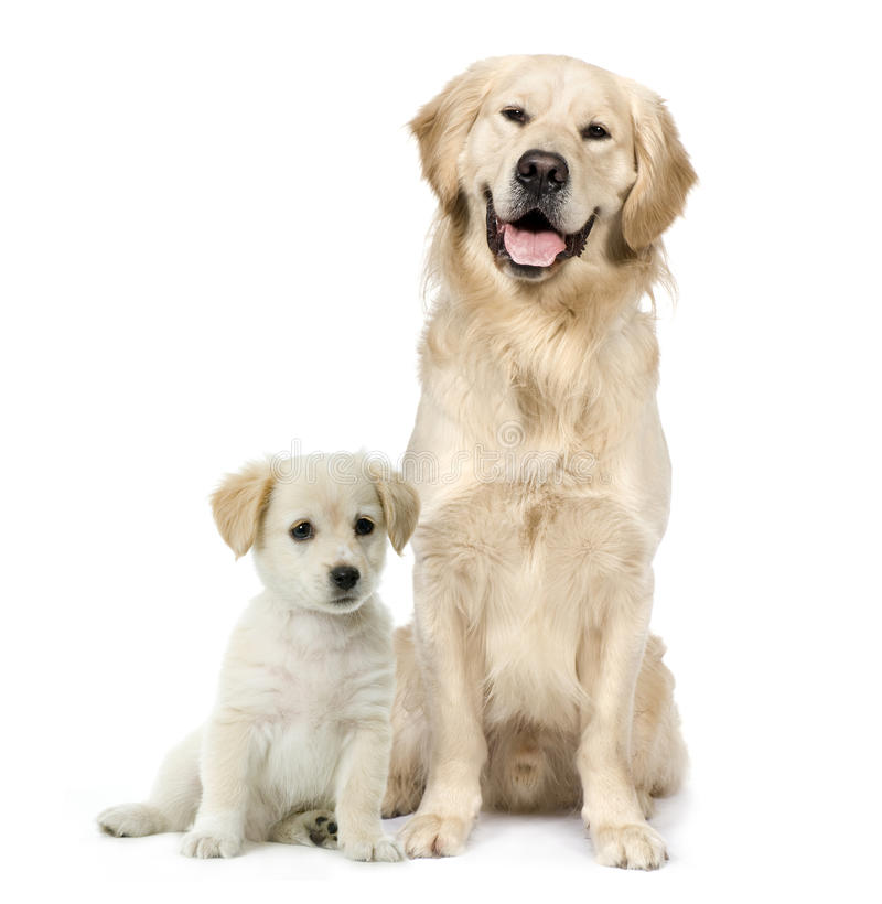 Golden Retriever and a Labrador puppy sitting royalty free stock image