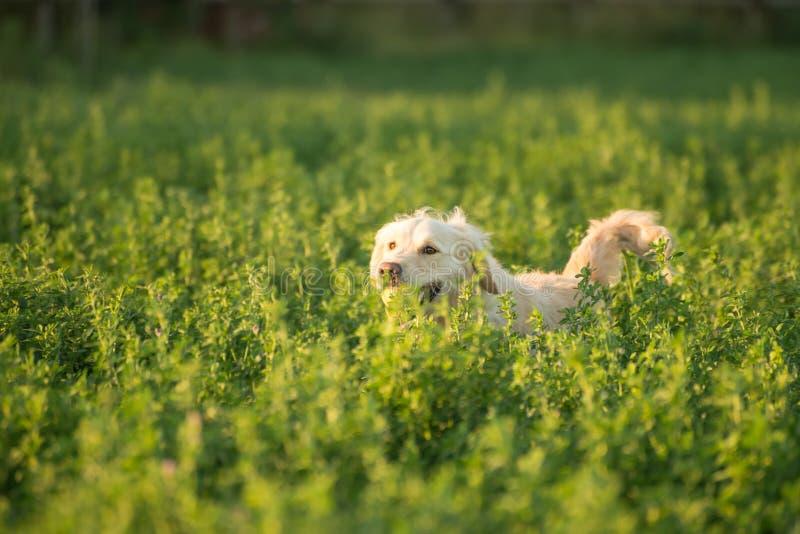 Download Golden Retriever In Landbouwgrond Stock Foto - Afbeelding bestaande uit best, brood: 54081914