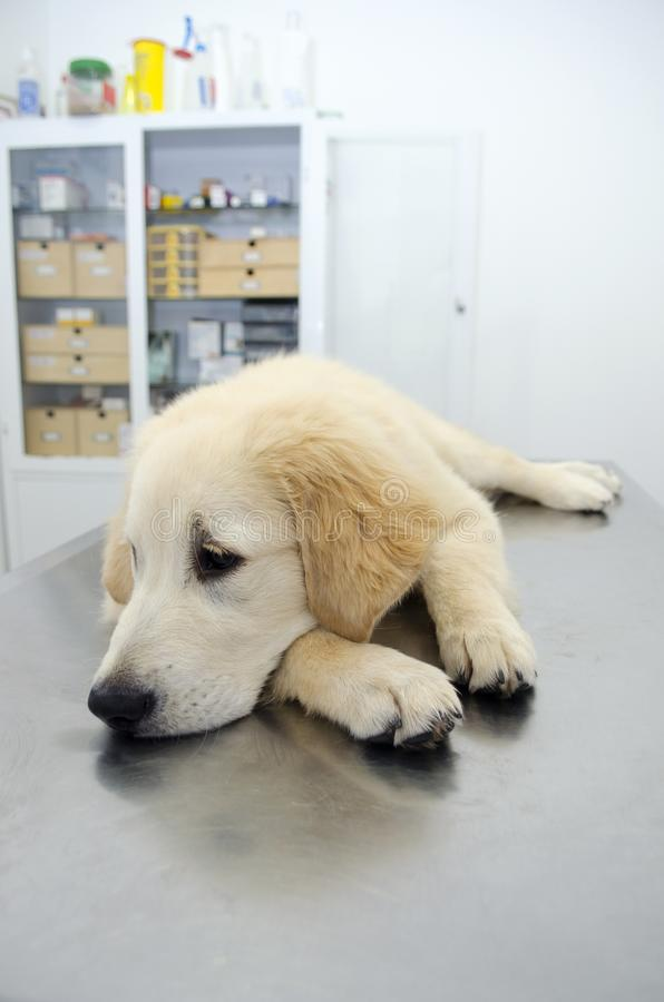Golden retriever at vets royalty free stock image