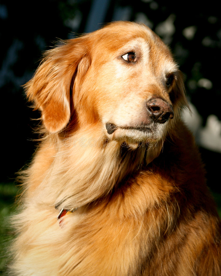 Download Golden Retriever looking stock photo. Image of close, mans - 7807304