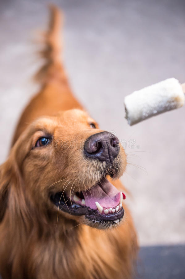 Download Golden Retriever Looking At Food Stock Photo - Image: 83701000