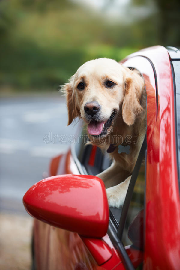 Golden Retriever Looking Out Of Car Window royalty free stock photo