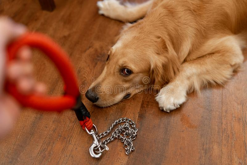 Golden retriever lying down on the floor refusing to be leashed for a walk stock images