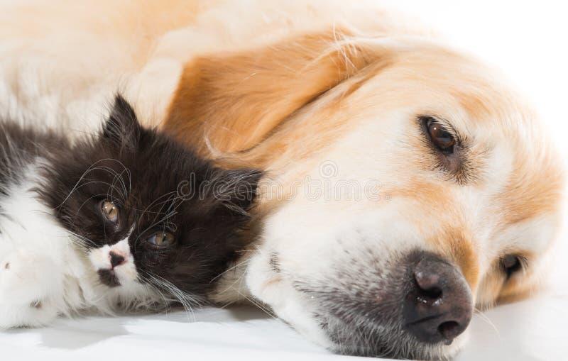Golden retriever met een Perzische kat stock fotografie