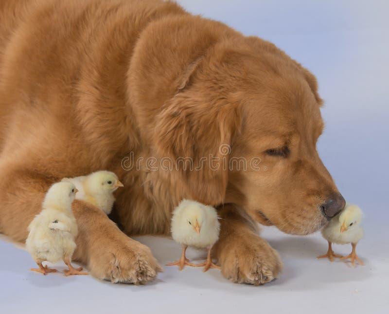Golden retriever mit Babyküken stockfotos