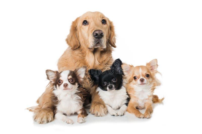 Golden retriever mit drei Chihuahuahunden, die auf weißem Hintergrund liegen lizenzfreie stockfotografie