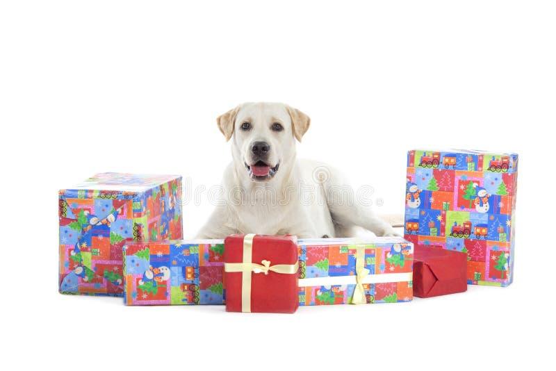 Golden retriever mit Weihnachtsgeschenken lizenzfreie stockfotos