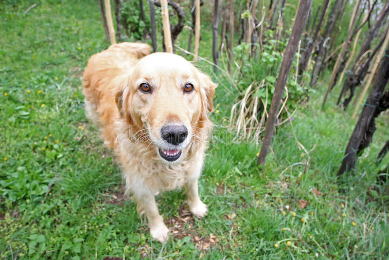 Golden retriever in nature royalty free stock photos