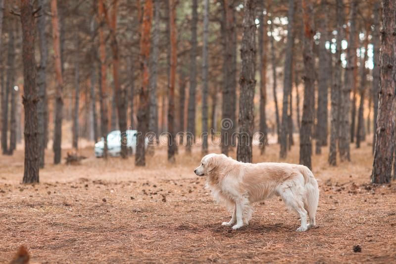 Golden retriever nella foresta di autunno su un fondo vago immagini stock