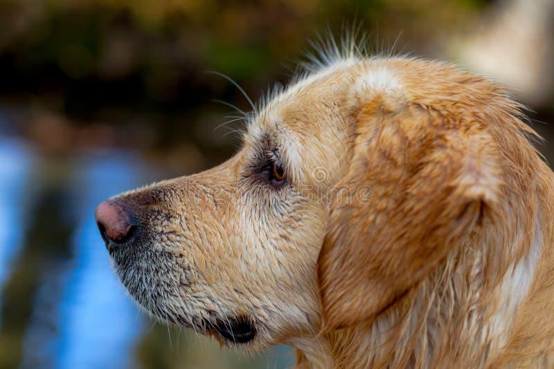 Golden Retriever stock photo