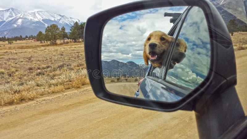 Golden retriever no espelho retrovisor fotografia de stock