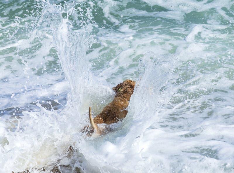 Golden retriever novo fotografia de stock