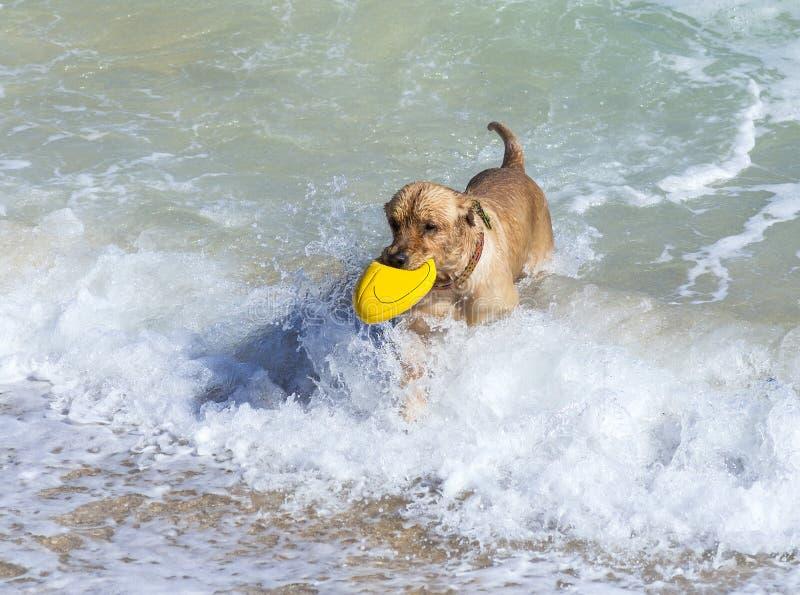 Golden retriever novo foto de stock royalty free