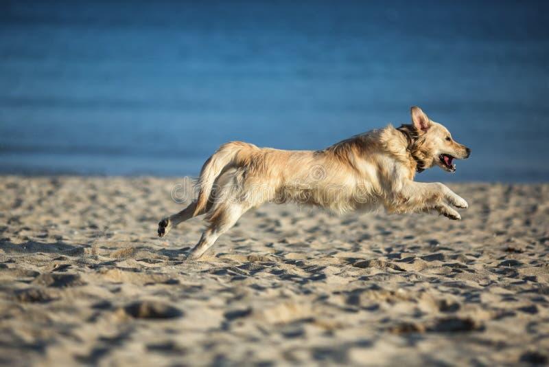 Golden retriever novo entusiasmado que corre e que salta na praia imagem de stock