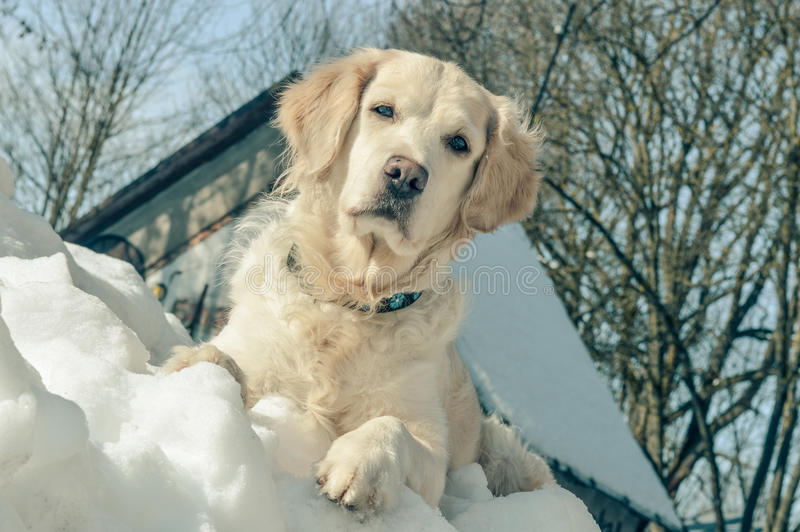Golden retriever på snön royaltyfria bilder