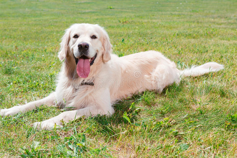Golden retriever in the park stock photography