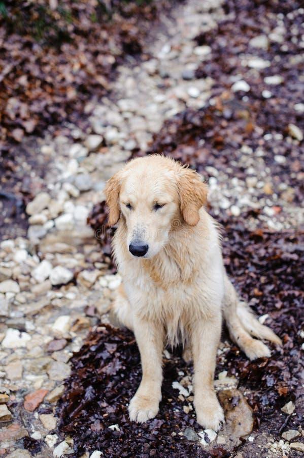 golden retriever pies w bukowym lesie w zimie z śniegiem na obrazy stock