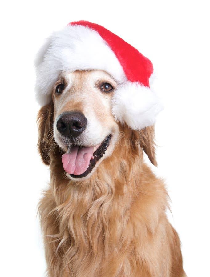 Golden Retriever pies z Święty Mikołaj kapeluszem dla bożych narodzeń obraz royalty free