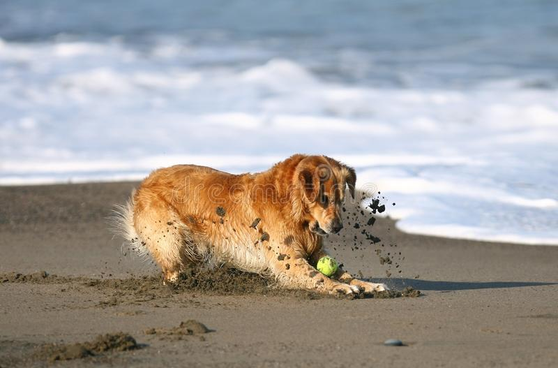 Golden Retriever playing at the beach. royalty free stock photo