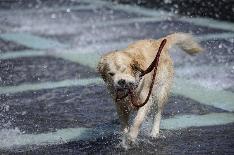 Golden retriever playing in a fountain stock images
