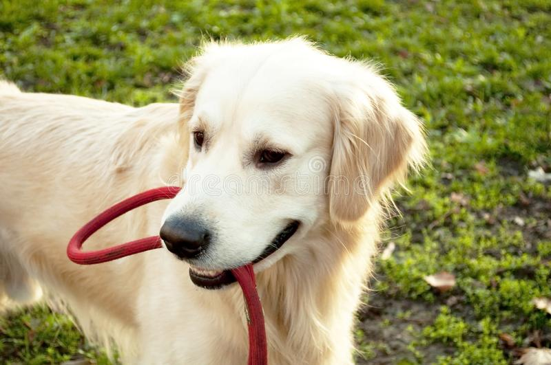 Golden Retriever playing with rope stock photos