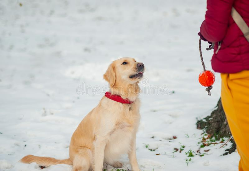 Golden retriever playing with a woman walking outdoors winter day, royalty free stock photography